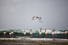 A flamingo in flight Royalty Free Stock Photo