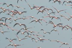 Flamingo in flight Royalty Free Stock Photo