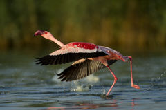 Flamingo flight Royalty Free Stock Images