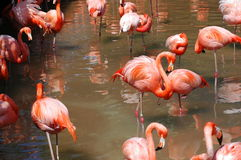 Flamingo Flock. A large flock of Flamingoes gather to rest, socialise and interact stock photography