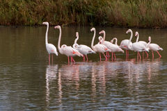 Flamingo flock Royalty Free Stock Images