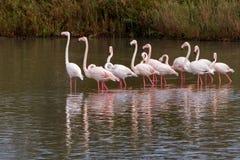Flamingo flock. Living in Kamargue preserve on Mediterranean Sea coast Royalty Free Stock Images
