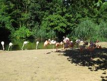 Flamingo. Flock of s, birds, flock stock photos