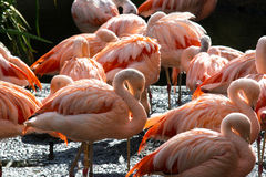 Flamingo Flock Royalty Free Stock Photo