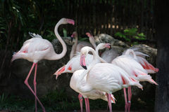 Flamingo flock (Phoenicopterus ruber). On little dark background Stock Photography