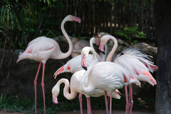 Flamingo flock (Phoenicopterus ruber). Stands in shade Royalty Free Stock Image