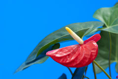 Flamingo flower Stock Photos