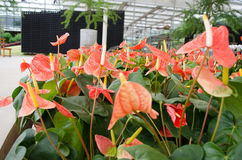 Flamingo Flower Stock Photos