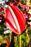 Flamingo flower. Stock Image