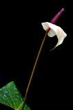 Flamingo Flower (Anthurium) Stock Photography