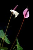 Flamingo Flower (Anthurium) Royalty Free Stock Photo