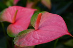 Flamingo flower or Anthurium flower Stock Images