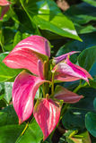 Flamingo Flower or Boy Flower in garden Royalty Free Stock Photography
