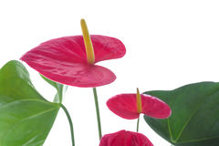 Flamingo flower closeup Royalty Free Stock Image