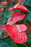 Flamingo Flower colorful. And freshy in garden Stock Photography