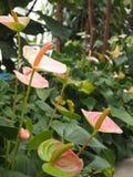 Flamingo flower Royalty Free Stock Photography