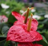 Flamingo flower in a garden stock image