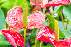 Flamingo Flower. Garden flowers are blooming beautiful red anthuriums Royalty Free Stock Photos