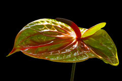 Flamingo flower Stock Photo
