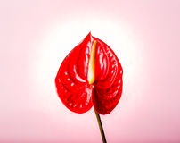 Flamingo flower isolated on pink background Royalty Free Stock Photo