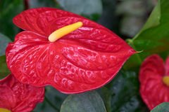 Flamingo flower leaf in garden Stock Image