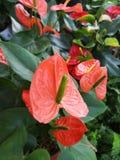 Flamingo Flower plant tropical stock photo