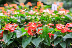 Flamingo Flower. Row of Red Anthurium flower, Flamingo Flower Royalty Free Stock Images