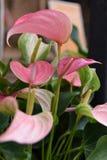 Flamingo Flower. Of the tropical stock photos