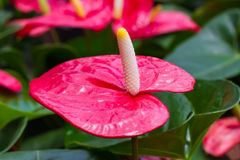 Flamingo Flowers or Boy Flowers Stock Images
