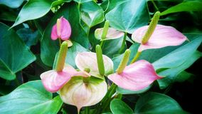 Flamingo flowers Stock Photography