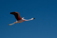 Flamingo-Flug Lizenzfreie Stockfotografie