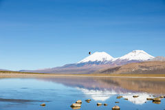 A flamingo fly with the snowcapped volcanoes Parinacota and Pome Royalty Free Stock Images