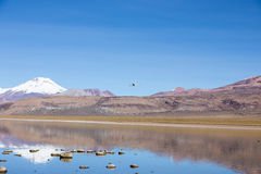 A flamingo fly with the snowcapped volcanoes Parinacota and Pome Stock Photos