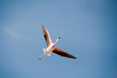 Flamingo flying Stock Photography
