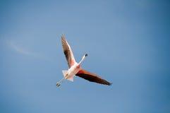Flamingo flying. In Atacama salt flat, Chile Stock Photography