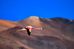 Flamingo flying in the mountains Royalty Free Stock Photo