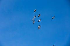 Flamingo flying, Natural Park of Sajama (Bolivia) Royalty Free Stock Image