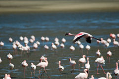 A flamingo flying Stock Photography