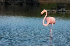 Flamingo In The Galapagos Royalty Free Stock Photos