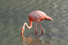 Flamingo, Galapagos Royalty Free Stock Images
