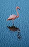 Flamingo - Galapagos Royaltyfri Fotografi