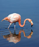 Flamingo - Galapagos Islands. The American Flamingo or Caribbean Flamingo (Phoenicopterus ruber) feeding on a freshwater lake on the island of Floreana in the royalty free stock image