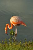 Flamingo in Galapagos Islands Royalty Free Stock Images