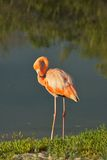 Flamingo in Galapagos Islands Stock Images
