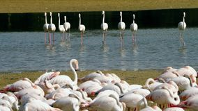 Flamingo gang. Exotic birds on the lake. Several pink flamingos move to the flock of other flamingos on the lake. Pink flamingos move like a gang stock video footage