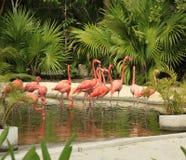 Flamingo at the Grand Mayan Vidanta Riviera Maya. Mexico royalty free stock photo