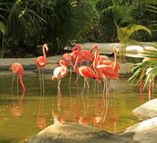 Flamingo at the Grand Mayan Vidanta Riviera Maya Royalty Free Stock Image