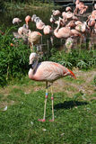 Flamingo on grass Royalty Free Stock Photos