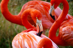 Flamingo Grooming Royalty Free Stock Images