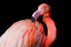 A flamingo grooming itself Royalty Free Stock Images